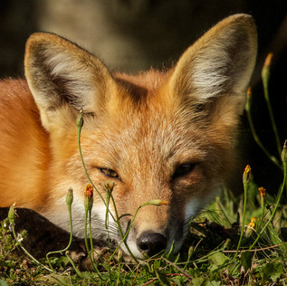 Wild Fox (obviously)