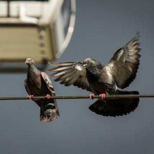 Manchester Pigeons