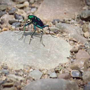 Skiny Bug