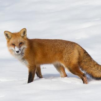 Backyard Fox