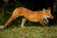 01-fox_yawning.jpg