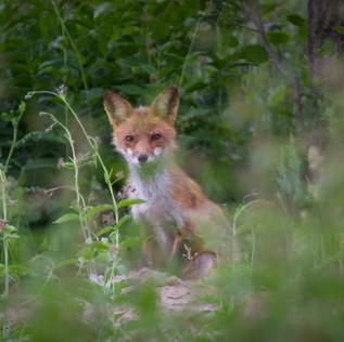Facing Off Fox