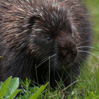 Porcupine at Forillon National Park