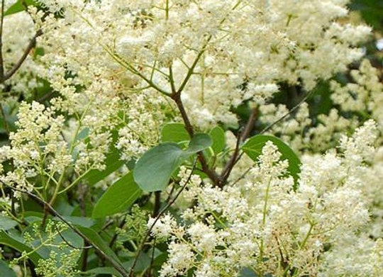 Ivory Silk Lilac Shrub Form