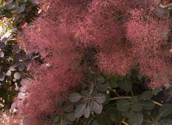 Royal Purple Smoke Bush