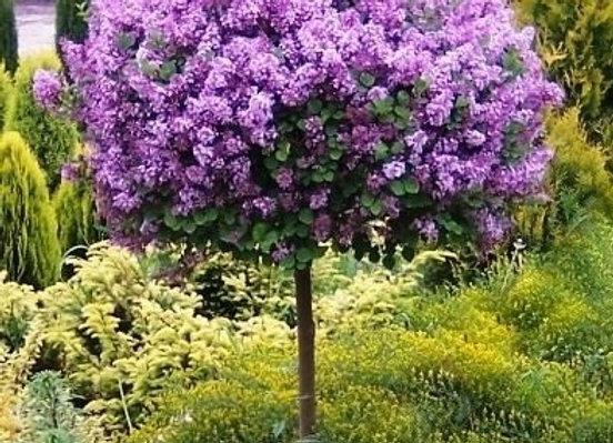 Dwarf Koren Lilac