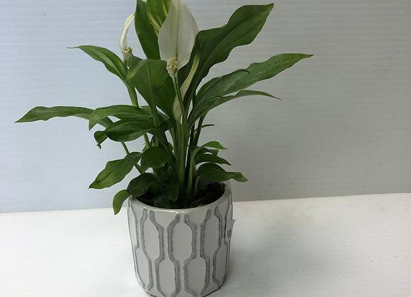 Mini Peace Lily