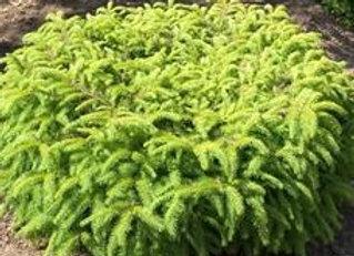 Nest Spruce
