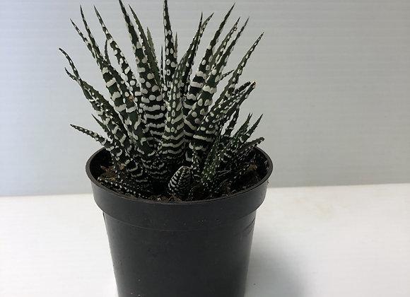 Succulent #7