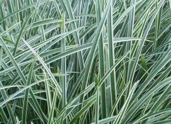 Carex Mor. Ice Dance Grass