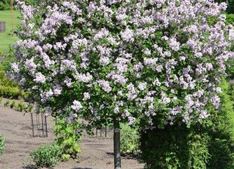 Bloomerang Lilac Standard
