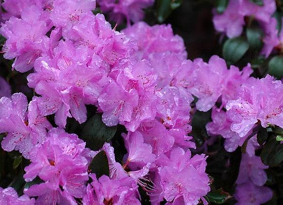 Rhododendron PJM Elite
