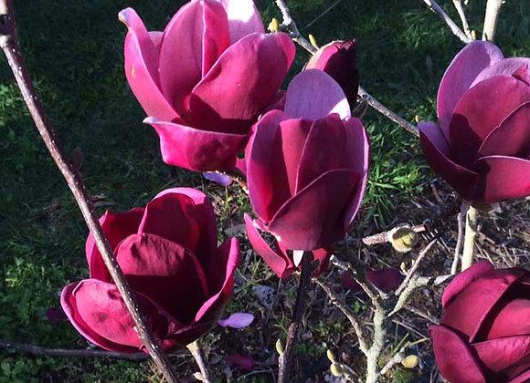 Magnolia Tinker Belle