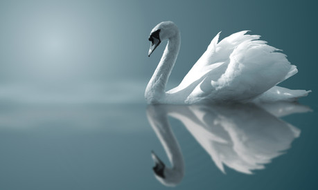 Swan Swan Lake.jpeg