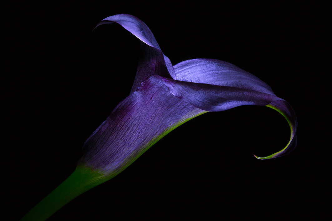 plum calla lily.jpeg