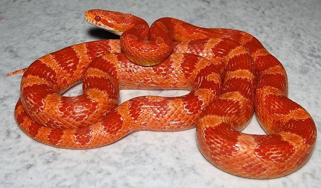 Corn Snake _edited.jpg