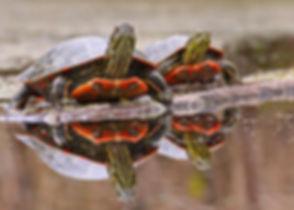 Painted Turtles .jpg