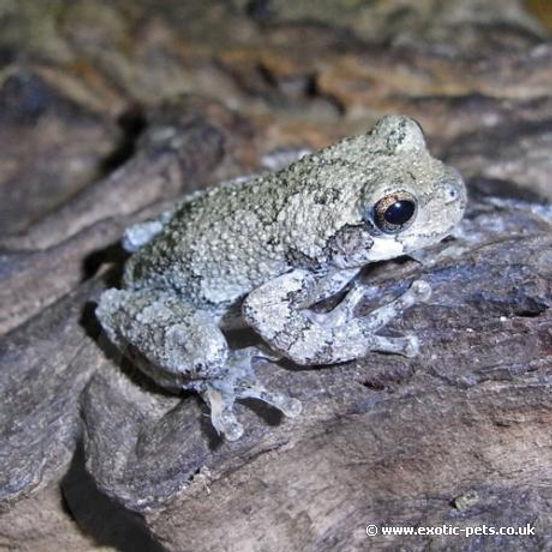 gray treefrog .jpg
