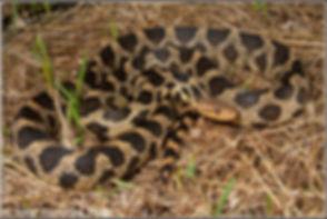 Fox Snake .jpg