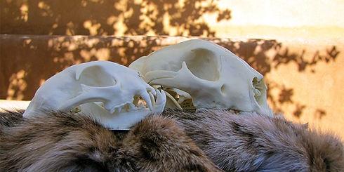 skulls and pelts.jpg