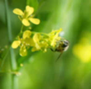 Bee on Flower_edited.jpg