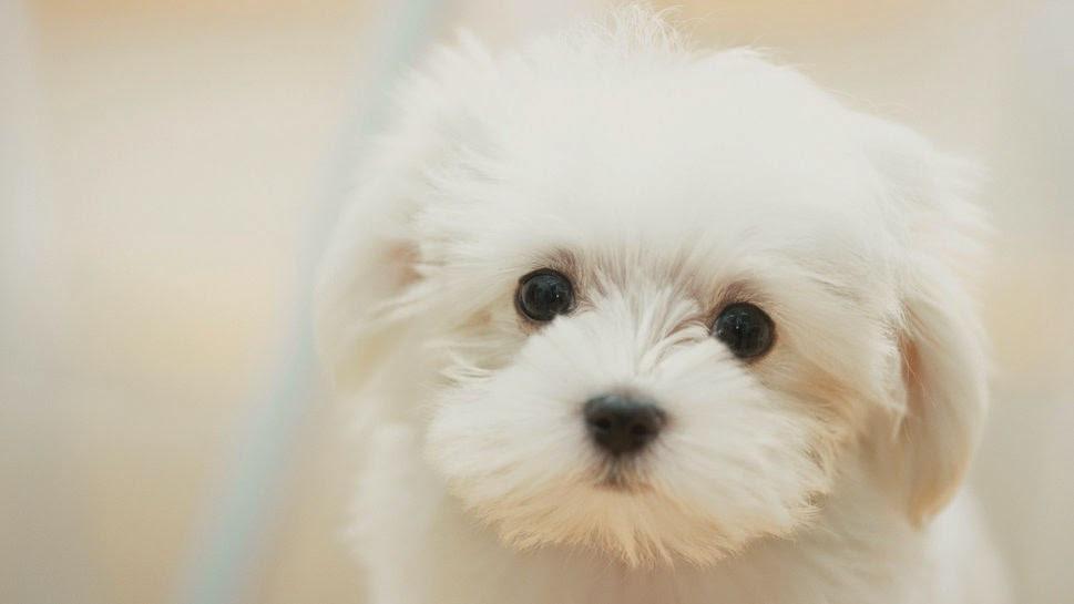 174670__dog-cute-white-sad-dreamy-puppy-dog-cute-white-sad-dreamy-puppy_p.jpg