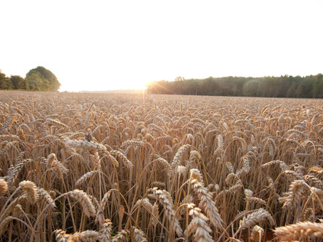 RAGT and Bayer sign an agreement to develop Hybrid Wheat seeds for European markets