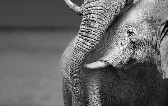 éléphant et communication animale