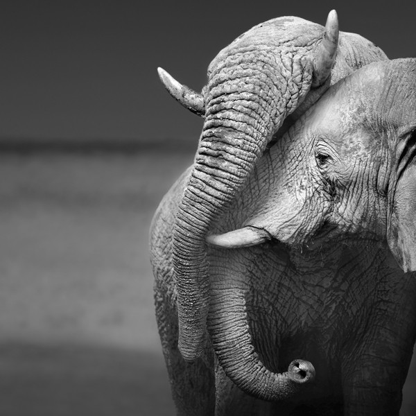 two elephants cuddling