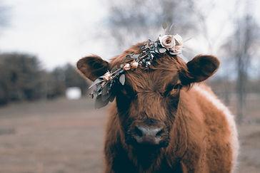 HANNAH MILES_VICTOR LUDORUM_COW.jpg