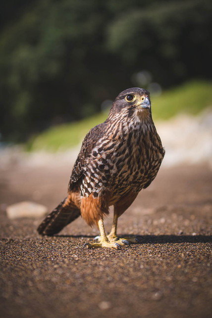 New Zealand Falcon portrait. New Zealand. Colm Keating Photography.
