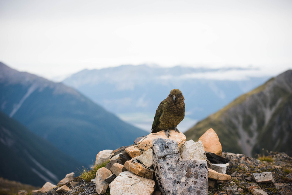 Kea. New Zealand. Colm Keating Photography.