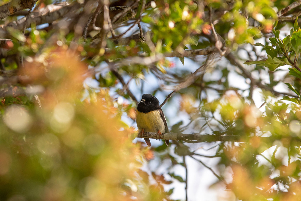Tomtit. New Zealand. Colm Keating Photography.
