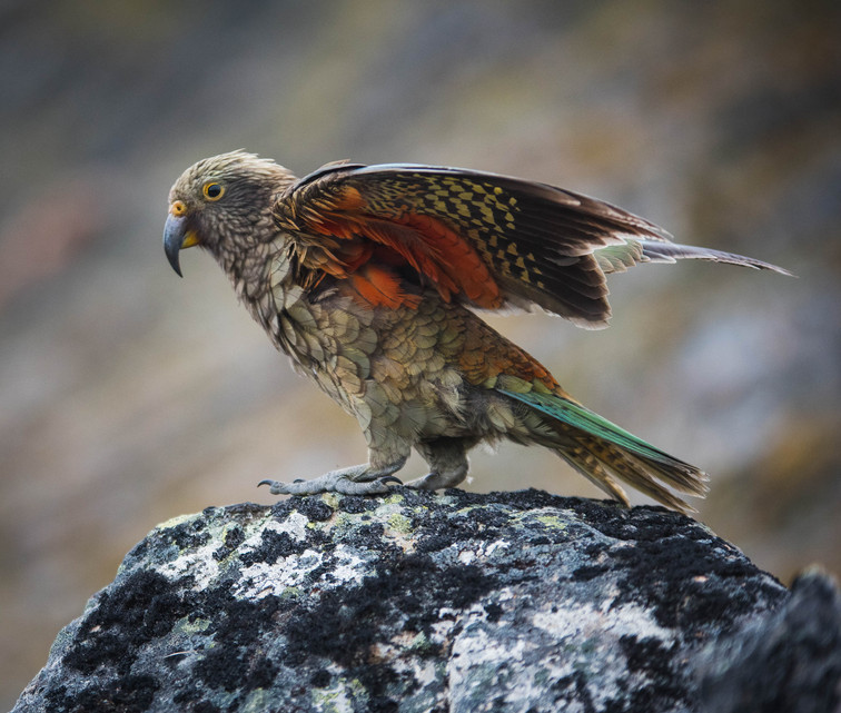 Kea feathers. New Zealand. Colm Keating Photography.