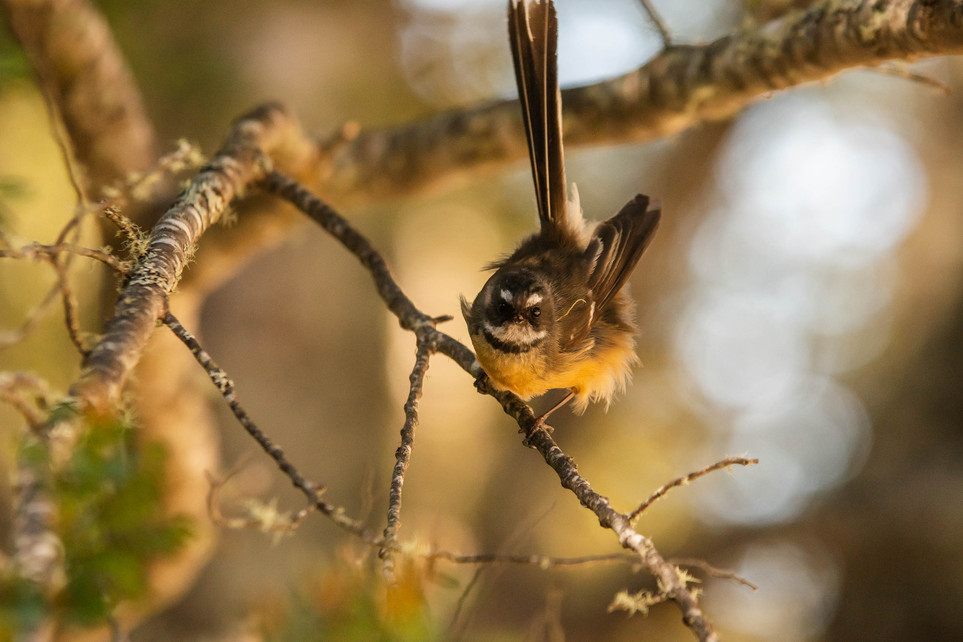Fantail. New Zealand. Colm Keating Photography.