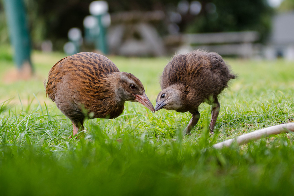 Weka and baby. New Zealand. Colm Keating Photography.