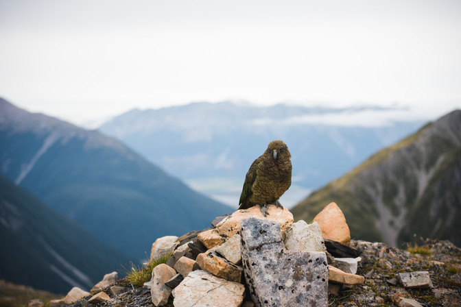 Kea above Arthurs Pass just below the summit of Avalanche Peak. New Zealand. Colm Keating Photography.