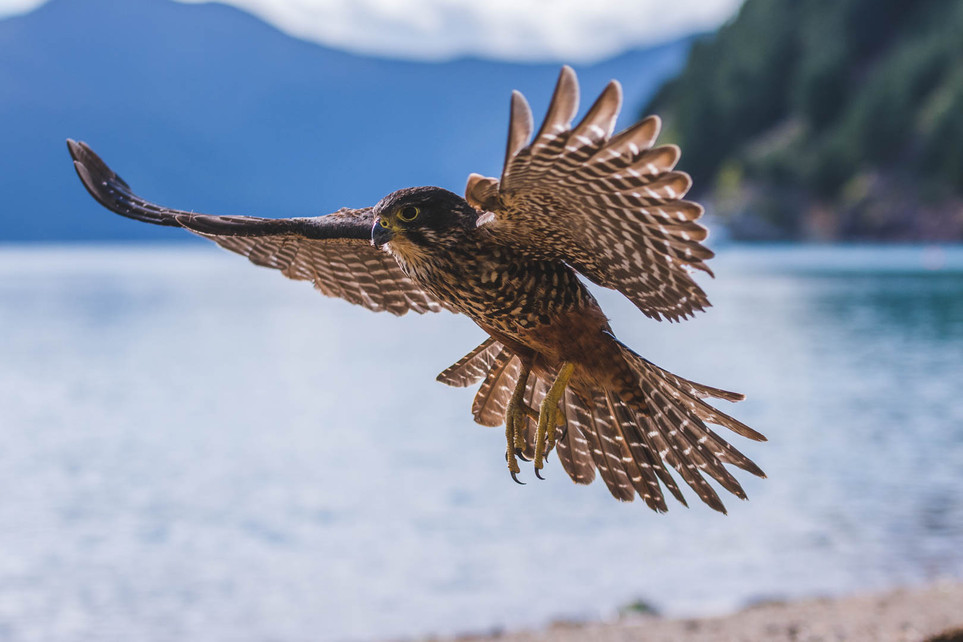 New Zealand Falcon. New Zealand. Colm Keating Photography.