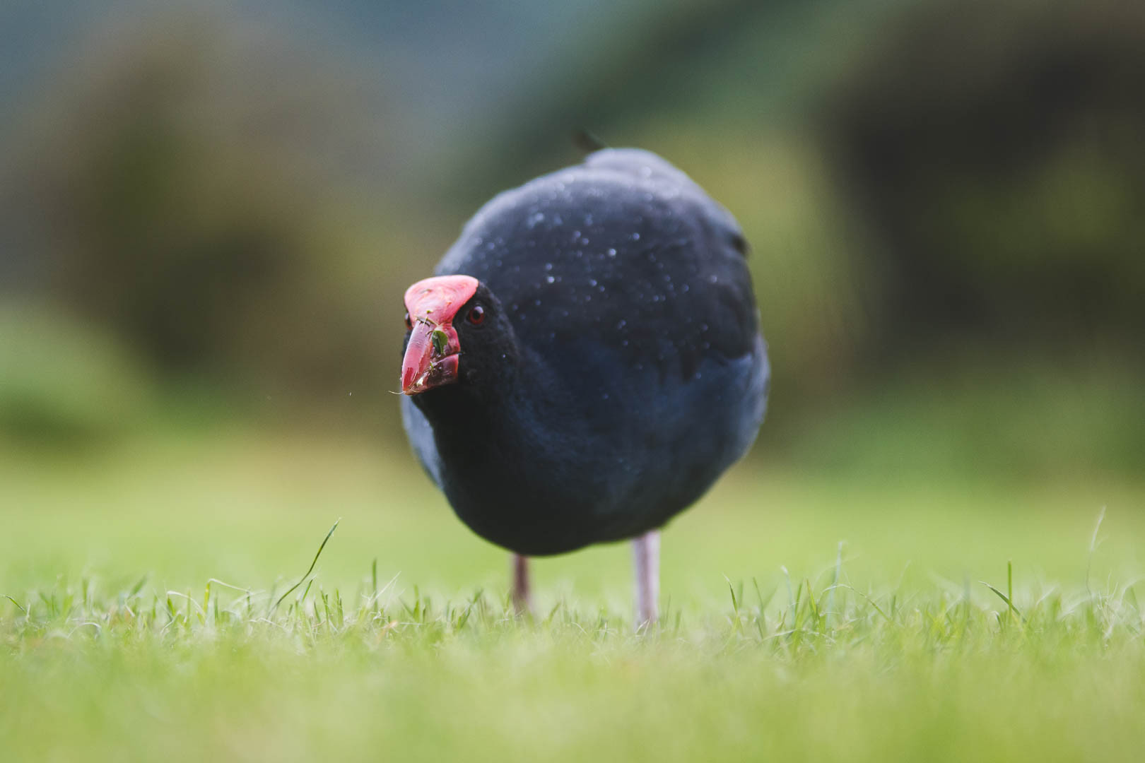 Pukeko. New Zealand. Colm Keating Photography.