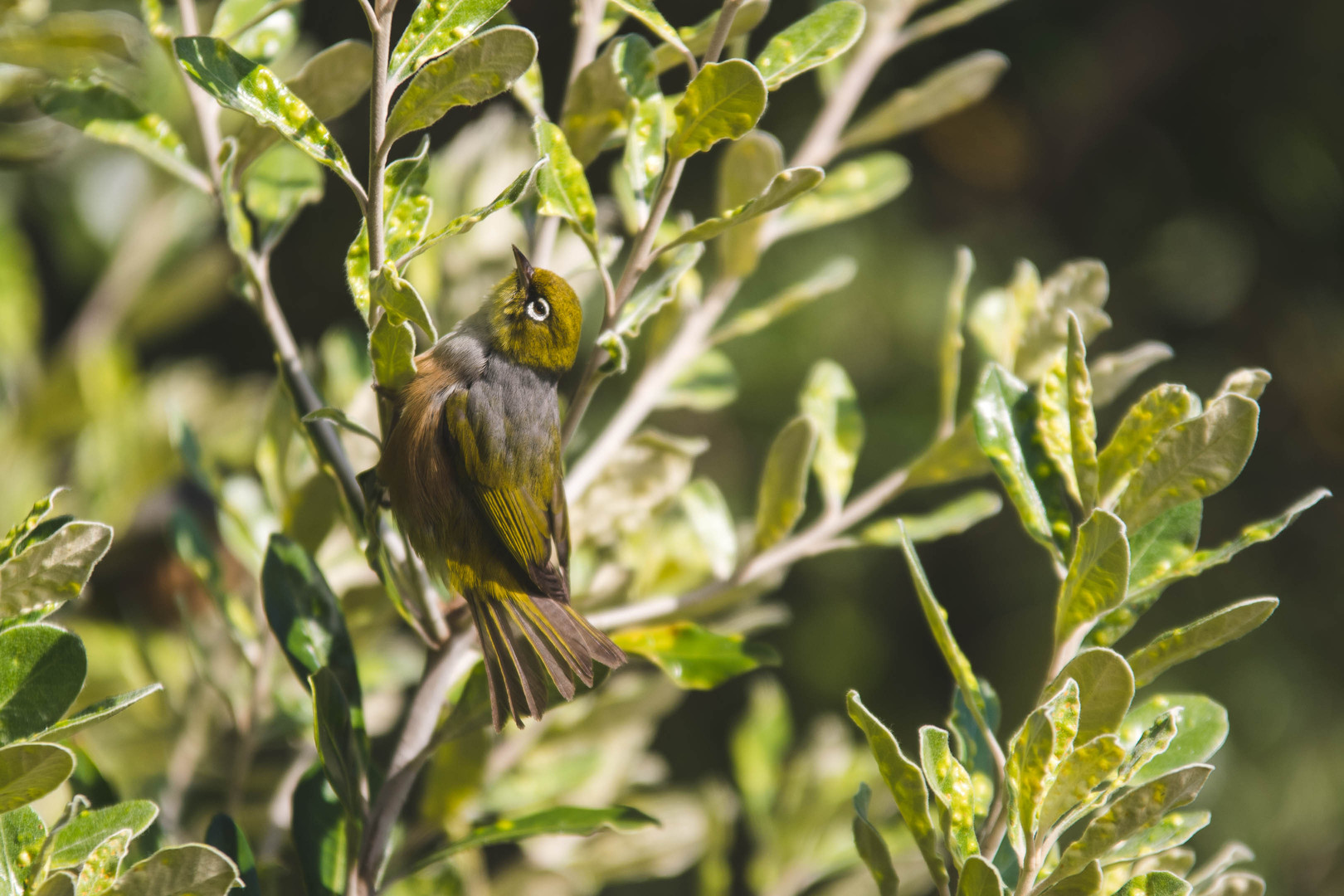 Silvereye. New Zealand. Colm Keating Photography.