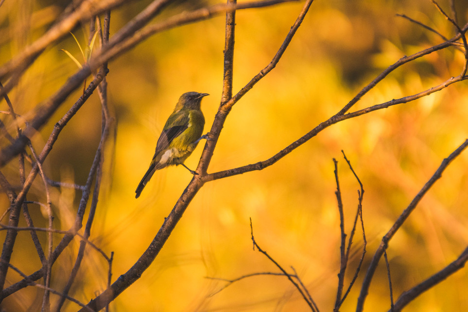 Belbird. New Zealand. Colm Keating Photography.