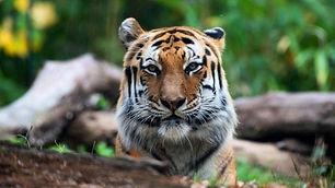 zoobronx-tigre-1-640x360.jpg