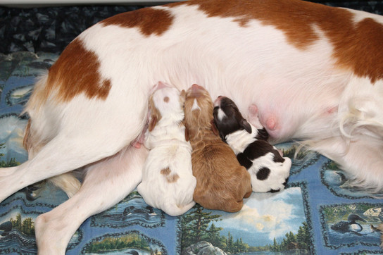Vera and Samuels 2021 Puppies -- Born October 6th -- pic 2.jpg