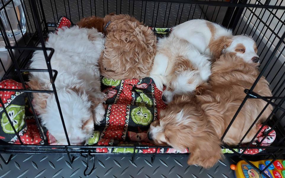 Daphne's 2020 Puppies -- 8 week old grou