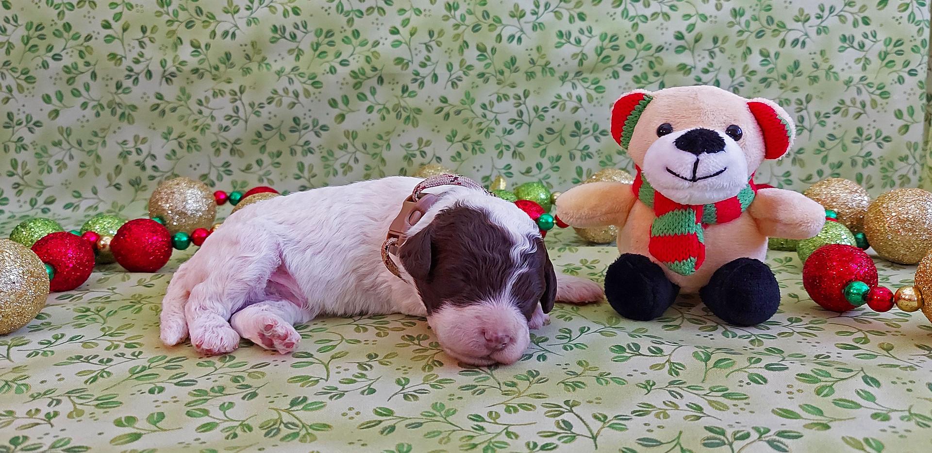 Puppy #5 -- BOY