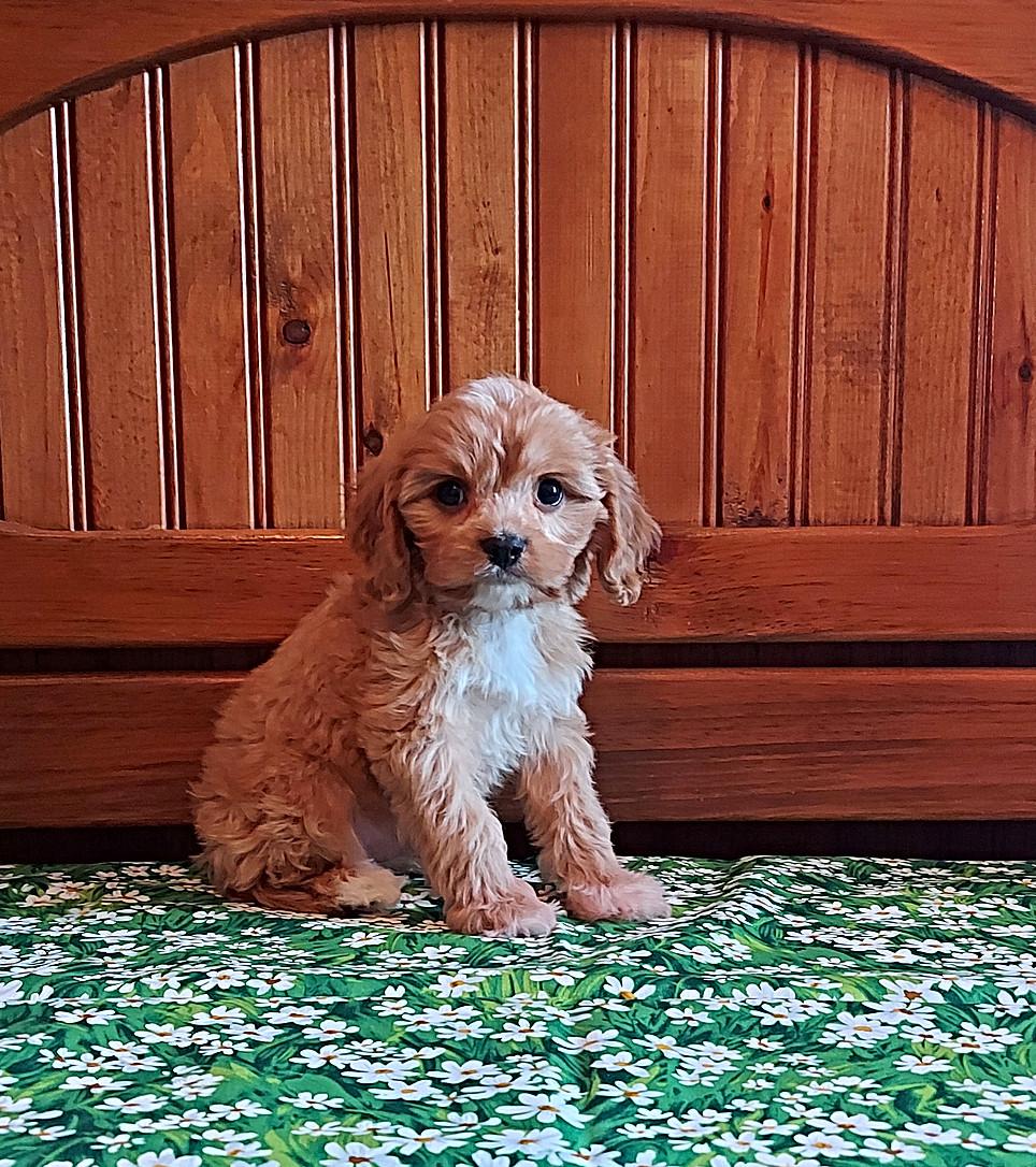 Benji -- 8 weeks old pic 2