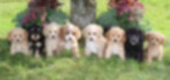 Annalyse and Trenton's puppies -- 8 week
