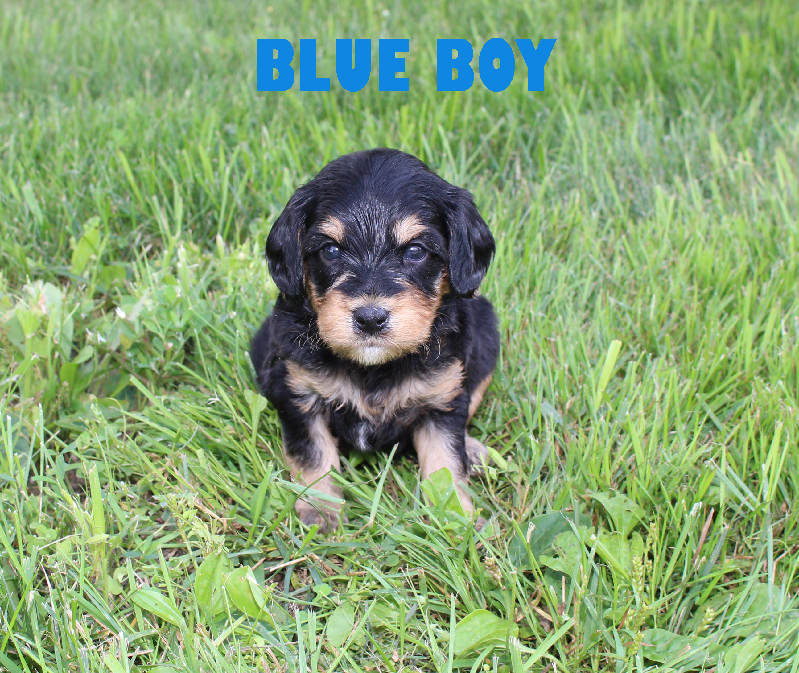 Blue BOY -- 4 weeks old