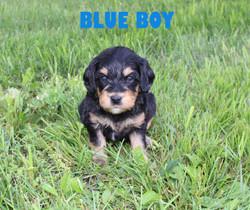 Blue BOY -- 4 weeks old