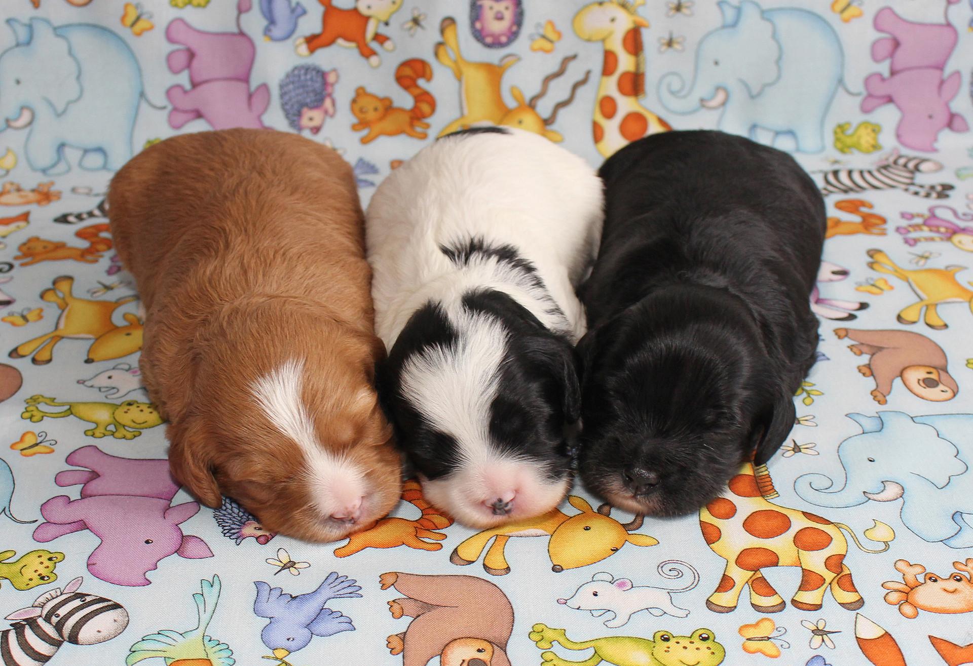 Gloria X Samuel's 2020 Puppies